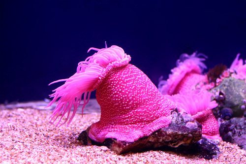 jrc_theassignment_underwater_pink_anemone copy